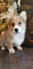 🐾💝Male and Female Pembroke Welsh Corgi Puppies Ready Now💝💝Call or text (716) 402-8078 Image eClassifieds4U