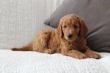 Goldendoodle Puppies Image eClassifieds4U