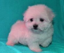 Maltese Puppies Image eClassifieds4U