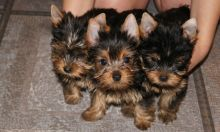 Yorkie Puppies Image eClassifieds4U