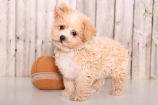 Maltipoo Puppies Image eClassifieds4u