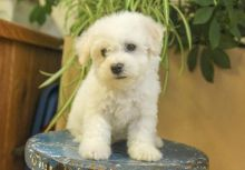 Bichon Frise Puppies For Adoption
