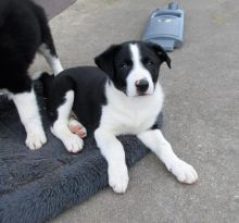 Border Collie Puppies For Adoption