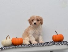 Cavachon Puppies For Adoption