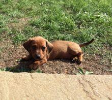 Dachshund Puppies For Adoption