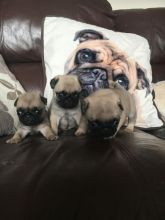Pug Puppies For Adoption