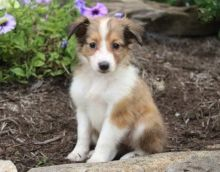 Sheltie Puppies For Adoption