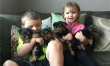 Teacup Yorkie puppies male and female