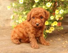 Abbotsford Toy Poodle : Dogs, Puppies for Sale Classifieds