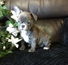 🐾💝🐾 ckc champion line French Bulldog puppies available! taking deposits now!🐾💝🐾