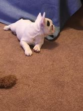 🐾💝🐾 ckc champion line French Bulldog puppies available! taking deposits now!🐾💝(716) 4