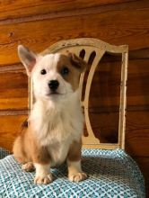 🐾💝Male and Female Pembroke Welsh Corgi Puppies Ready Now💝💝Call or text (716) 402-8078