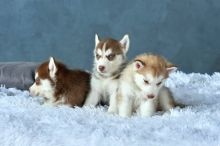 Blue Eye Siberian Husky Puppies Available