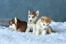 Blue Eye Siberian Husky Pups Available