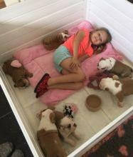 Home Raised English Bulldog Puppies Available