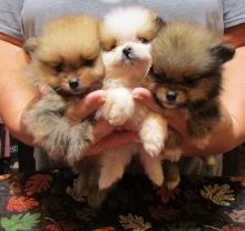 Teacup Pomeranian Puppies Available for Adoption