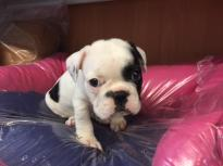 🐾💝🐾 ckc champion line French Bulldog puppies available! taking deposits now!🐾💝🐾 Image eClassifieds4U