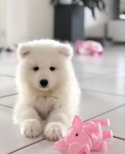 ☂️ ☂️ ☂️Breathtaking Ckc Samoyed Puppies Ready for a Loving Home