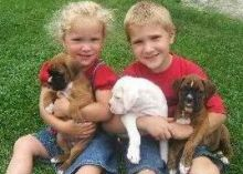 Cute Boxer puppies available ,