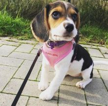 ☂️ ☂️ ☂️ Fabulous Ckc Beagle Puppies For Re-Homing ☂️ ☂️ ☂️