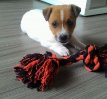 🐾💝🐾 Staggering 🐾💝🐾 Ckc Jack Russel Puppies Available🐾💝