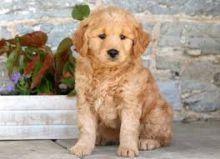 Adorable F1 Mini Goldendoodle Puppies