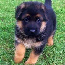 Adorable German Shepherd puppies.