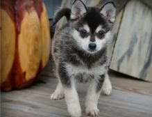Adorable male and female Pomsky Puppies