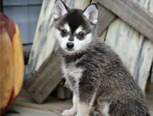 Adorable male and female Pomsky puppies Ready (716) 402-8078