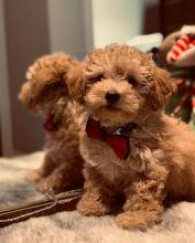 Adorable TeaCup Toy Poodle Puppies Available