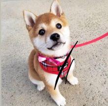 Magnificent shiba inu Puppies Available Email at [ fabianrecaldo@gmail.com]