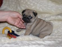 Well trained Pug puppies.