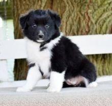 Charming Australian Shepherd puppies Image eClassifieds4U