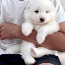 🐾💝🐾 Astounding 🐾💝🐾 Ckc Samoyed Puppies Available🐾💝709 400 2737