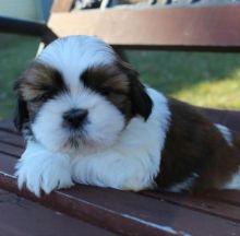 Eye-Catching Ckc Shih Tzu Puppies Available for Re Homing