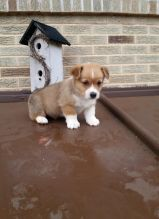 Corgi Puppies For Adoption