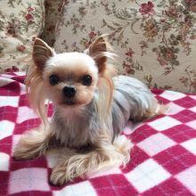 Sensational Ckc Maltese Puppies Available