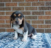 Beagle Puppies For Adoption