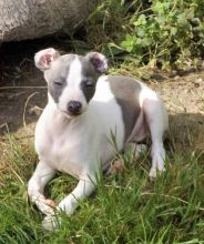 Italian Greyhound Puppies For Adoption