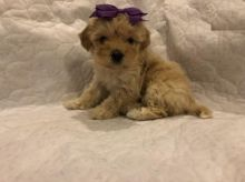 Maltipoo Puppies For Adoption