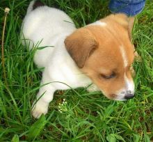 Staggering 🐾💝🐾 Ckc Jack Russel Puppies Available