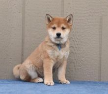 Shiba Inu Puppies For Adoption Image eClassifieds4U