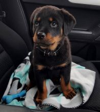 ☂️ ☂️ ☂️Energetic Ckc ☂️ Rottweiler Puppies Email at us ☂️ ☂️ [ fabianrecald