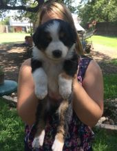 Australian Shepherd Puppies For Sale Call or text (716) 402-8078