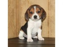 Beautiful Beagle Pups Available For adoption @Email>>carlosfrost150@gmail.com