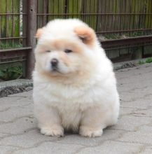 Beautiful Chow Chow Puppy