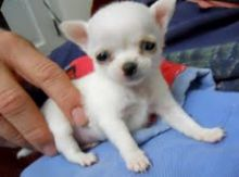 Breathtaking Chihuahua Puppies Txt # (716) 402-8078
