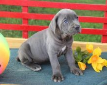 Champion, Cane Corso Puppies