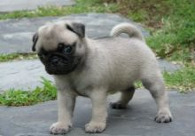 Chunky Pug Puppies For a good home...** ** contact via (716) 402 8078 for more info