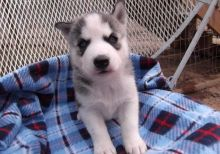 Enjoyable Siberian Husky Puppies for Sale. txt only via (716) x 402 x 8078 for more info and pics.